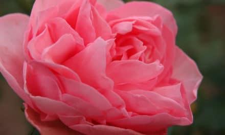 Guy de Maupassant, La Serre & Rose – Écouter Lire