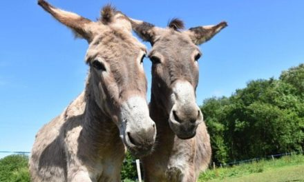 Voyage avec 3 ânes à travers les Bauges – les Racines du Futur